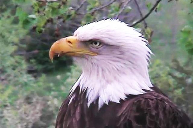 Pygargue à tête blanche (Iowa) 394576-US106-2012-102