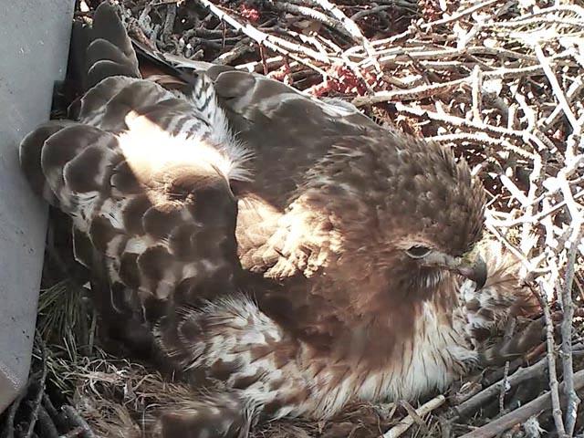 Faucon à queue rouge (Ithaca-NY) 286430-US130-2018-101