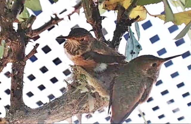 Colibri : Californie (San Clemente) 324342-US128-2018-101