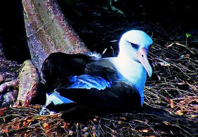 Albatros : Hawai 363796-US111-2017-101
