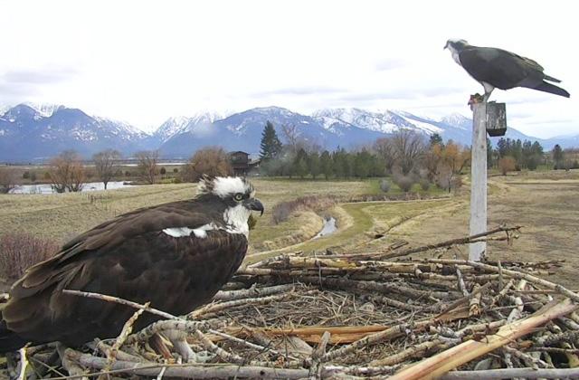 Balbuzard : Montana (Charlo) 531993-US114-2018101