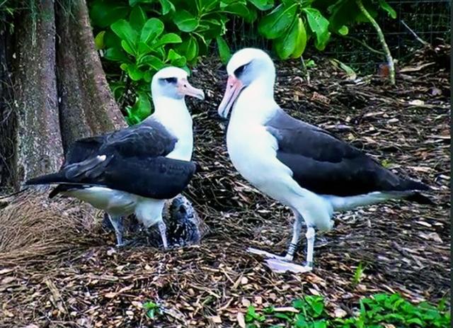 Albatros : Hawai 823571-US111-2017-103