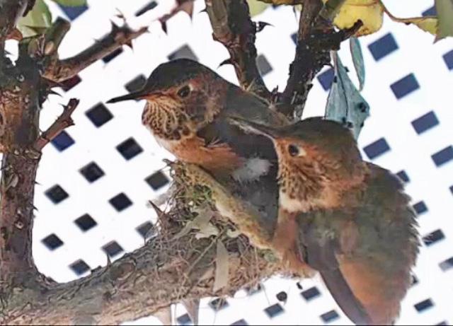 Colibri : Californie (San Clemente) 865920-US128-2018-102