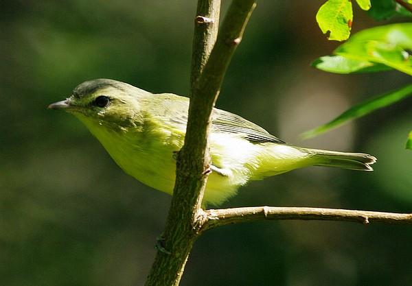 aide pour identifier plusieurs oiseaux  18416-IMGP1981