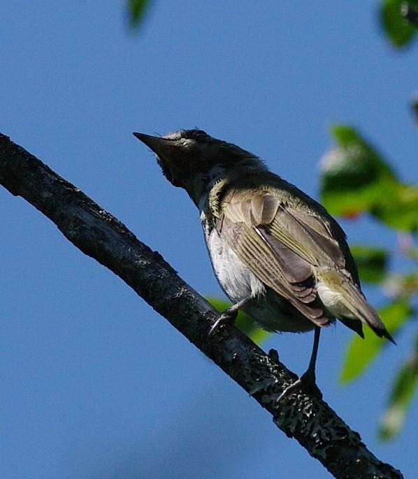 aide pour identifier plusieurs oiseaux  485250-IMGP1961
