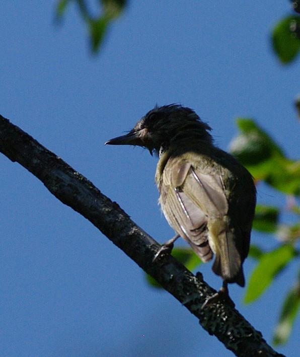 aide pour identifier plusieurs oiseaux  55695-IMGP1960