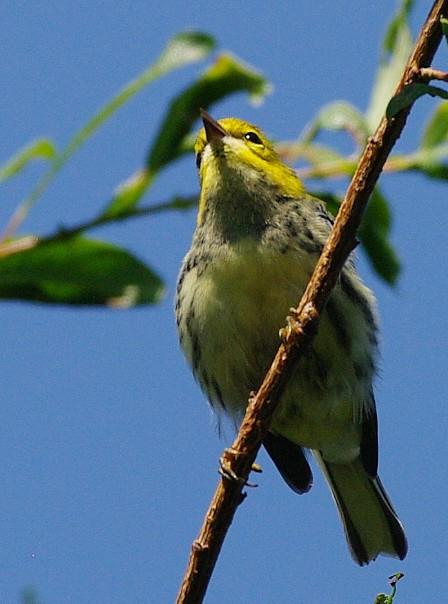 aide pour identifier plusieurs oiseaux  69417-IMGP2015