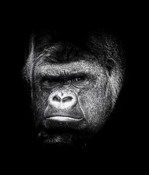 Gorilles - Archives 19100911053821718616452548