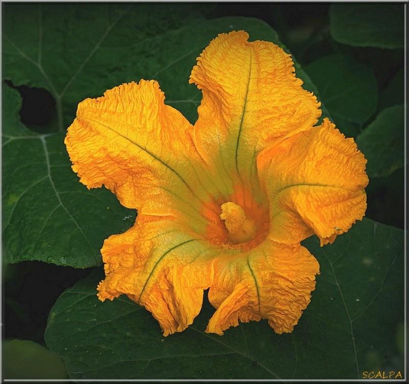 Curcubita ficifolia colorée 19101308240721718616458331