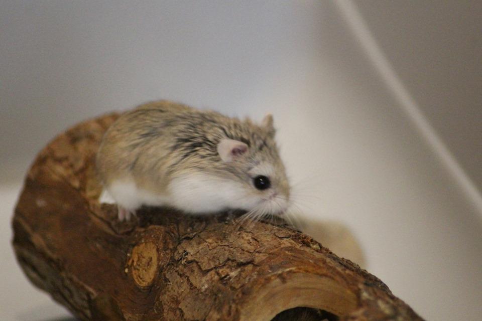 3 hamsters roborovskis (juillet 2019) 19101603214622445416464324