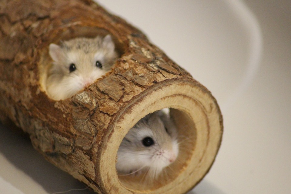 3 hamsters roborovskis (juillet 2019) 19101603214722445416464325