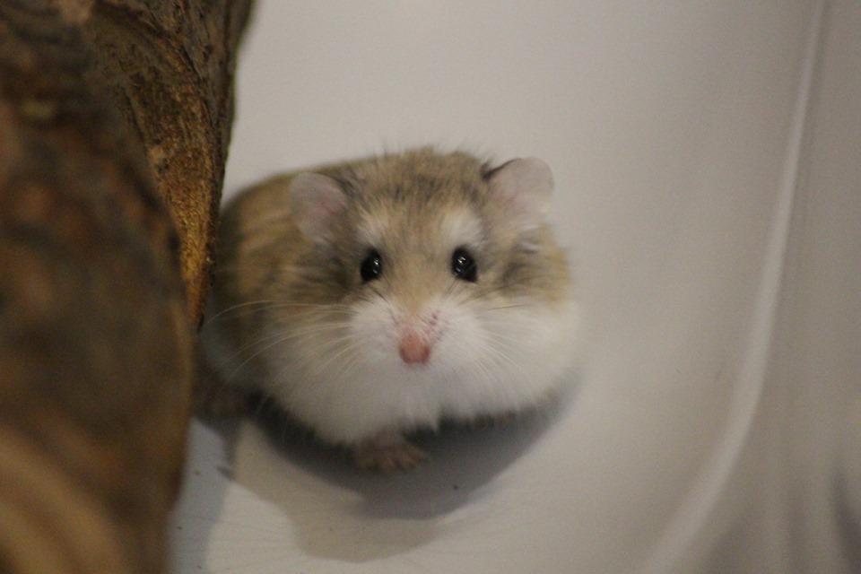 3 hamsters roborovskis (juillet 2019) 19101603214722445416464326