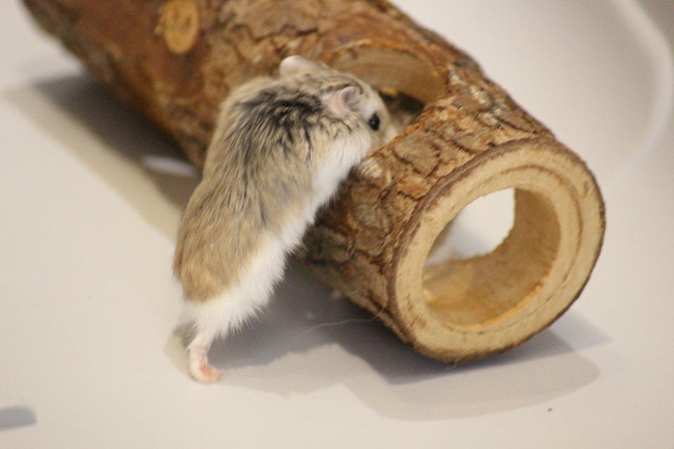 3 hamsters roborovskis (juillet 2019) 19101603214722445416464327
