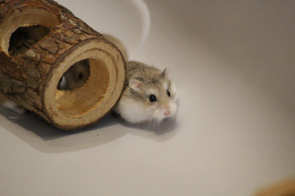 3 hamsters roborovskis (juillet 2019) 19101603214822445416464329