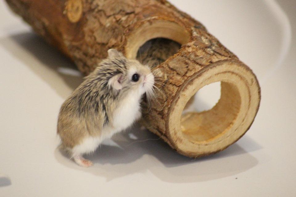 3 hamsters roborovskis (juillet 2019) 19101603214822445416464330