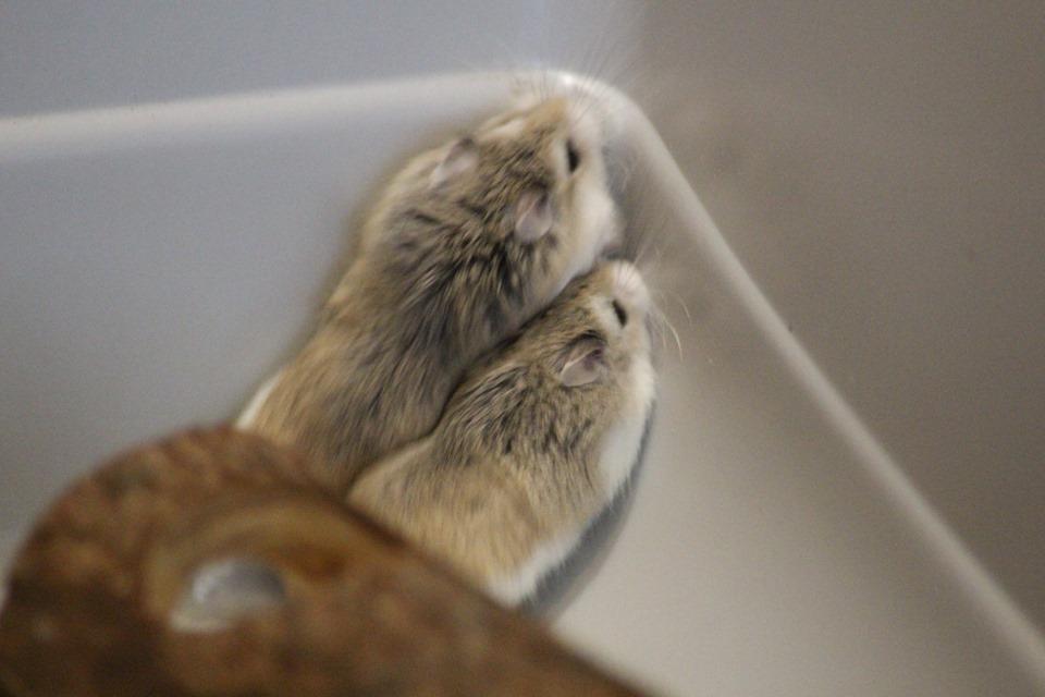 3 hamsters roborovskis (juillet 2019) 19101603214822445416464331