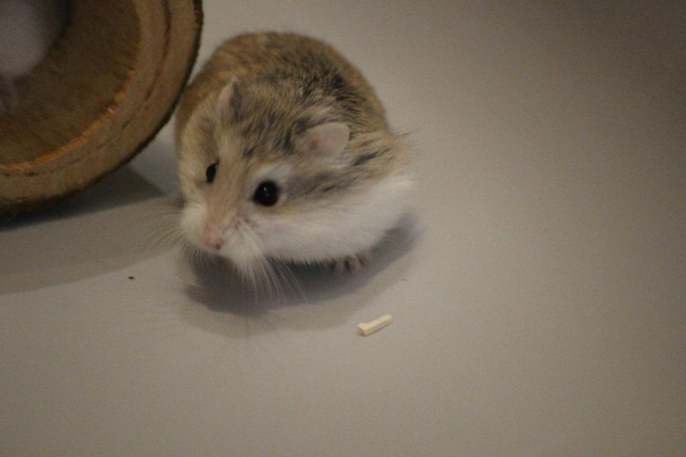 3 hamsters roborovskis (juillet 2019) 19101603214922445416464334