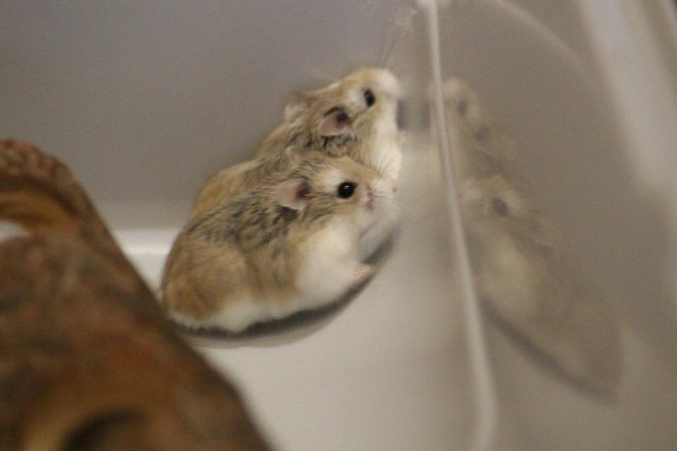 3 hamsters roborovskis (juillet 2019) 19101603214922445416464335