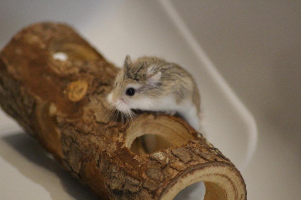 3 hamsters roborovskis (juillet 2019) 19101603215022445416464338