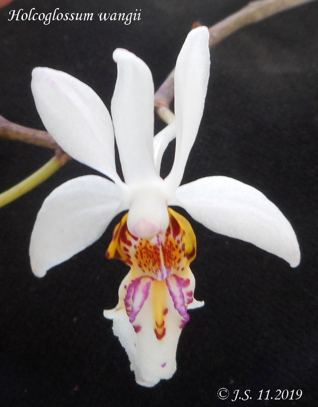 Achete pour Holcoglossum wangii 19110911154611420016502707