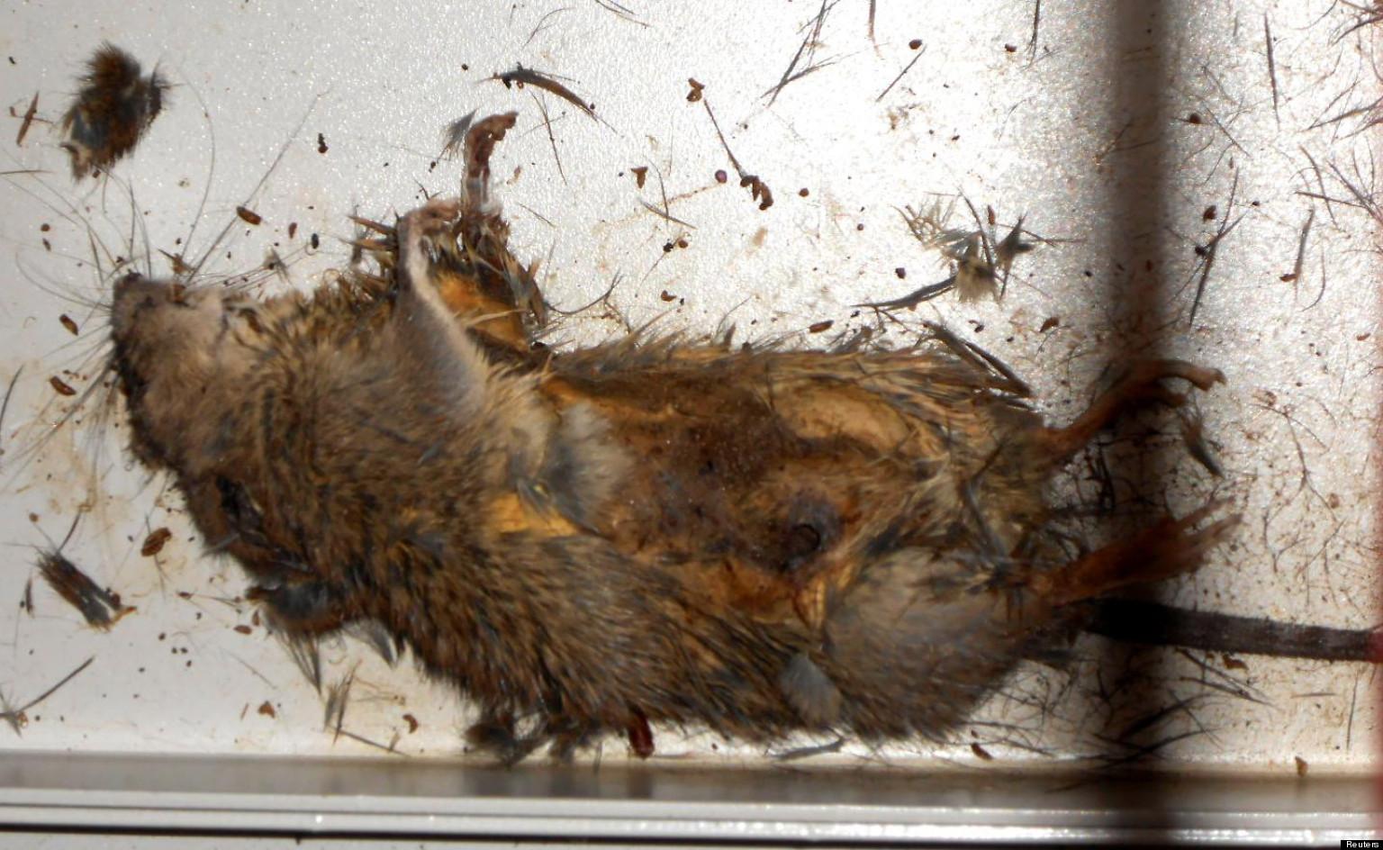 0_RAT-mort