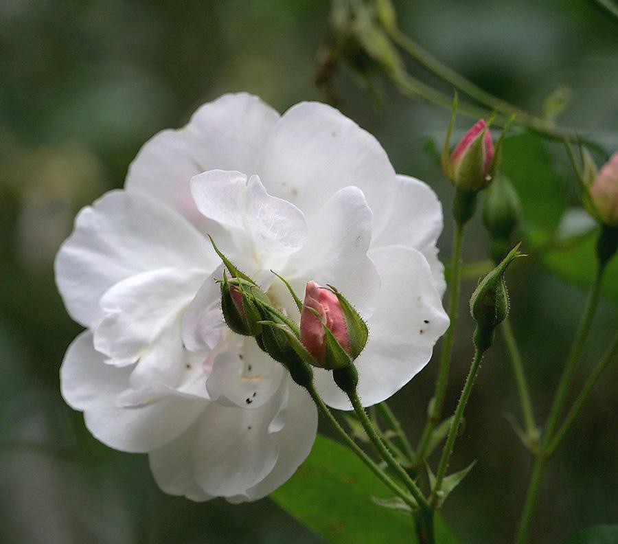 Blanche et rose 20032012273621718616695271