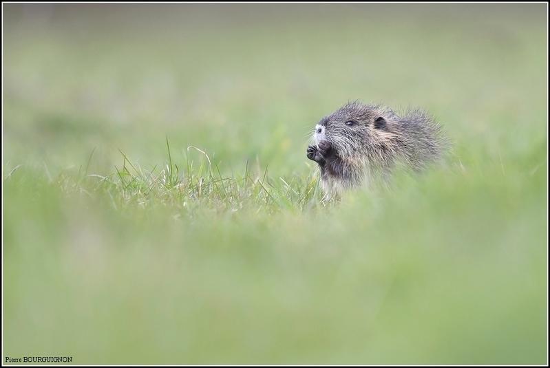 Ragondin par Pierre BOURGUIGNON, photographe animalier, Belgique