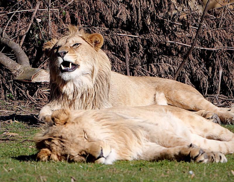 Duo de lions 20040812151821718616731974