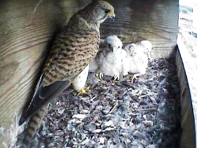 Le Nid de Faucons crécerelles (Muttenz) LhQwJb-Oiso-2008-A