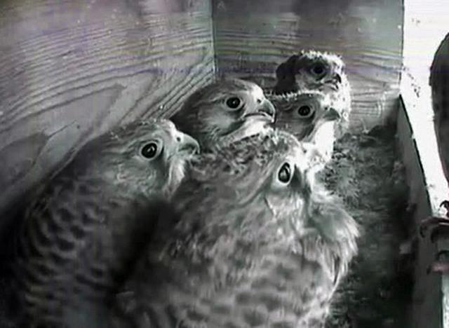 Le Nid de Faucons crécerelles (Muttenz) LhQwJb-Oiso-2008-B
