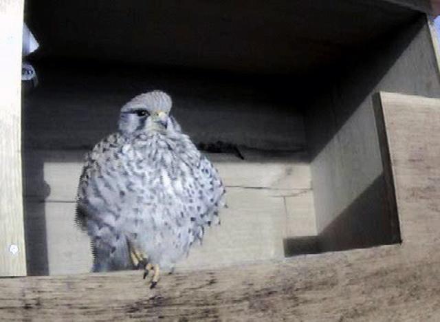 Le Nid de Faucons crécerelles (Muttenz) LhQwJb-Oiso-2009-A