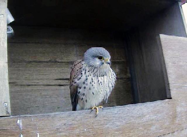 Le Nid de Faucons crécerelles (Muttenz) MhQwJb-Oiso-2010-A