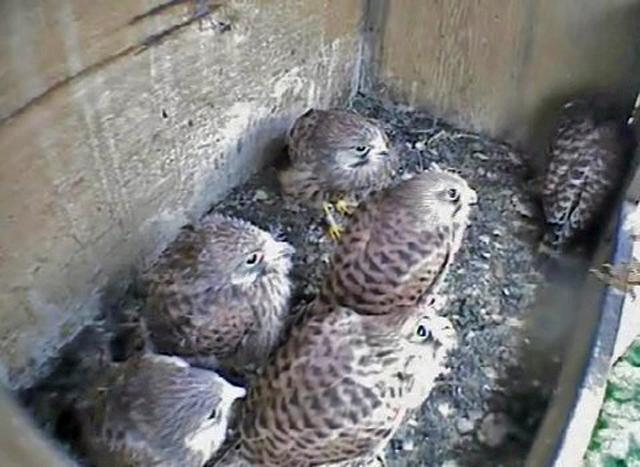 Le Nid de Faucons crécerelles (Muttenz) NhQwJb-Oiso-2010-C