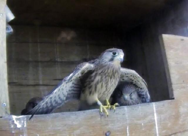 Le Nid de Faucons crécerelles (Muttenz) NhQwJb-Oiso-2010-D