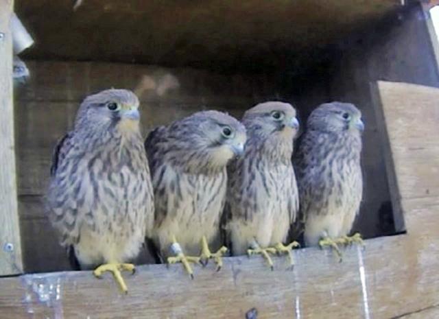 Le Nid de Faucons crécerelles (Muttenz) OhQwJb-Oiso-2010-E