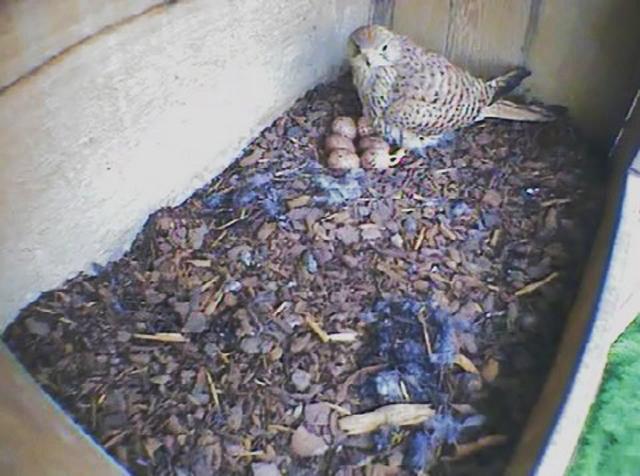 Le Nid de Faucons crécerelles (Muttenz) OhQwJb-Oiso-2011-B