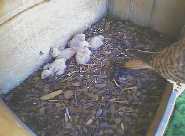 Le Nid de Faucons crécerelles (Muttenz) OhQwJb-Oiso-2011-C