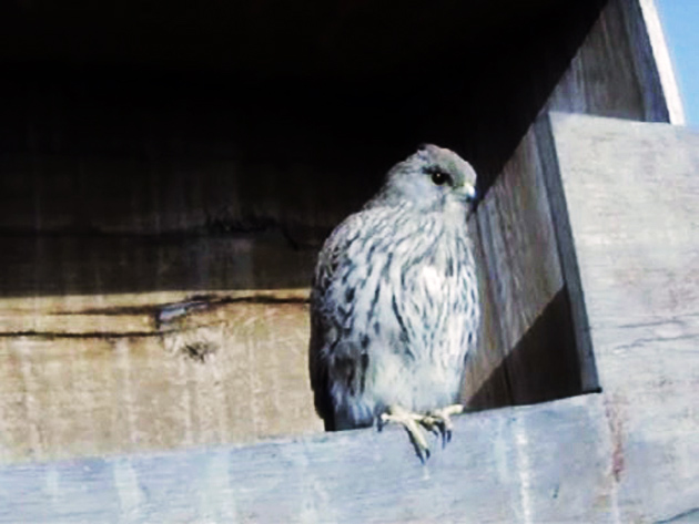 Le Nid de Faucons crécerelles (Muttenz) PhQwJb-Oiso-2012-A