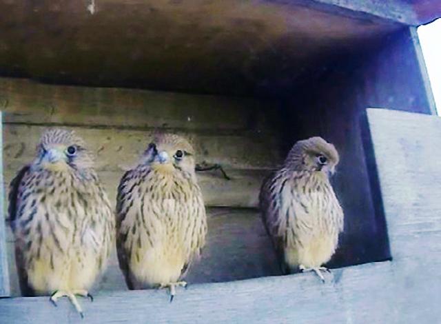 Le Nid de Faucons crécerelles (Muttenz) RhQwJb-Oiso-2013-D