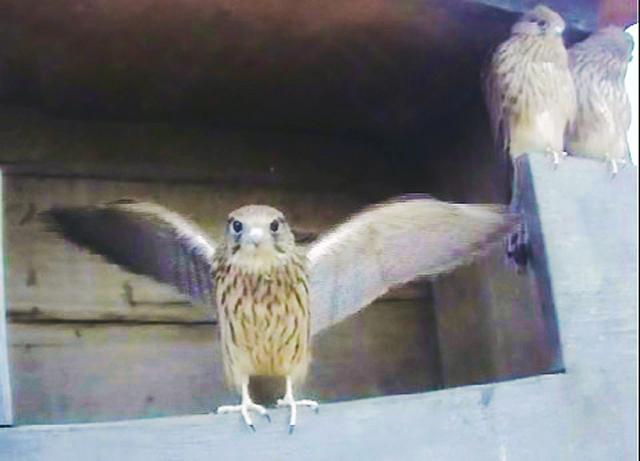 Le Nid de Faucons crécerelles (Muttenz) RhQwJb-Oiso-2013-E