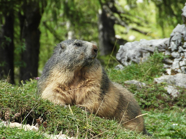 La Marmotte IsvyJb-1-Marmotte-A
