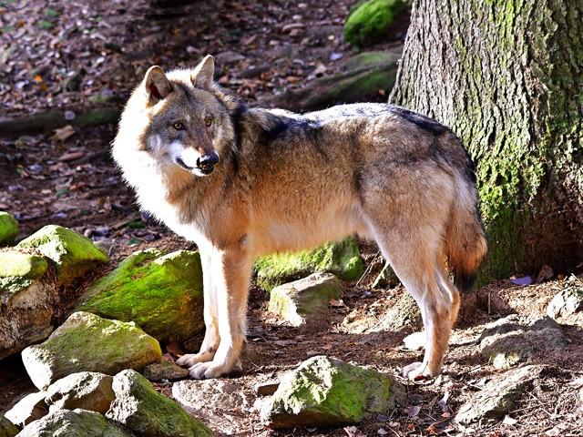Le Loup JkvyJb-1-Loup-A