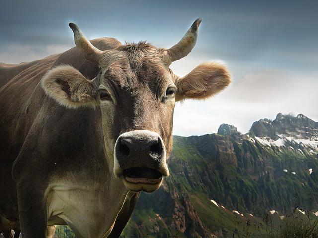 Vache A6g0Jb-1-Vache