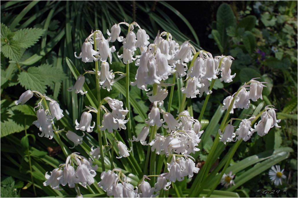 Fleurs blanches tout simplement SJg3Jb-DSC06101-copie