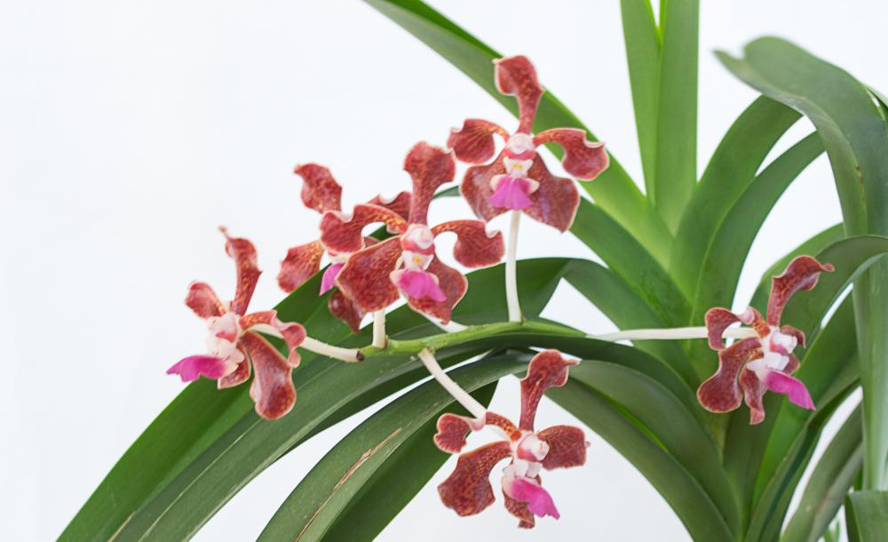 orchidée:vanda florescens 2006131027469707116850670