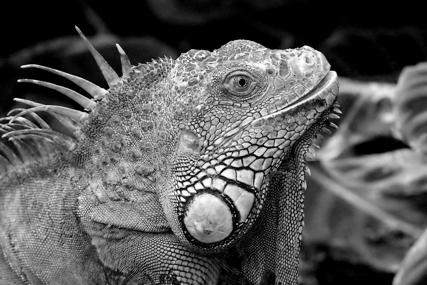 Iguana iguana monochrome. 20070910443921718616912073