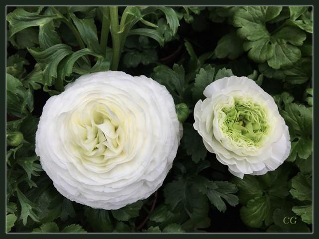 Fleurs 2 CooYJb-Flower-121-B