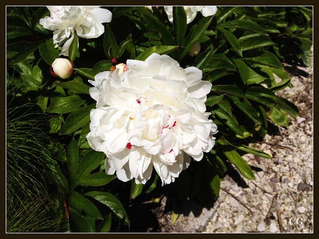 Fleurs 3 GooYJb-Flower-139-B