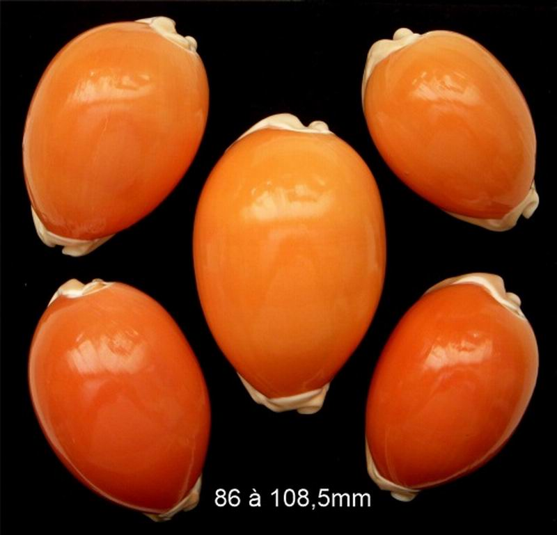 Callistocypraea aurantium - (Gmelin, 1791) - Page 3 20072402023214587716935128