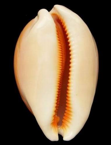 Callistocypraea aurantium - (Gmelin, 1791) - Page 3 20072402362214587716935147